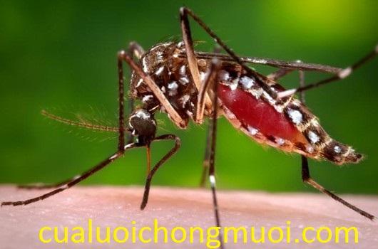 Muỗi vằn truyền bệnh sốt rét