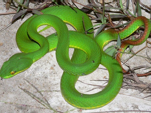 Rắn lục đuôi đỏ là rắn độc nhất trong các loại rắn lục